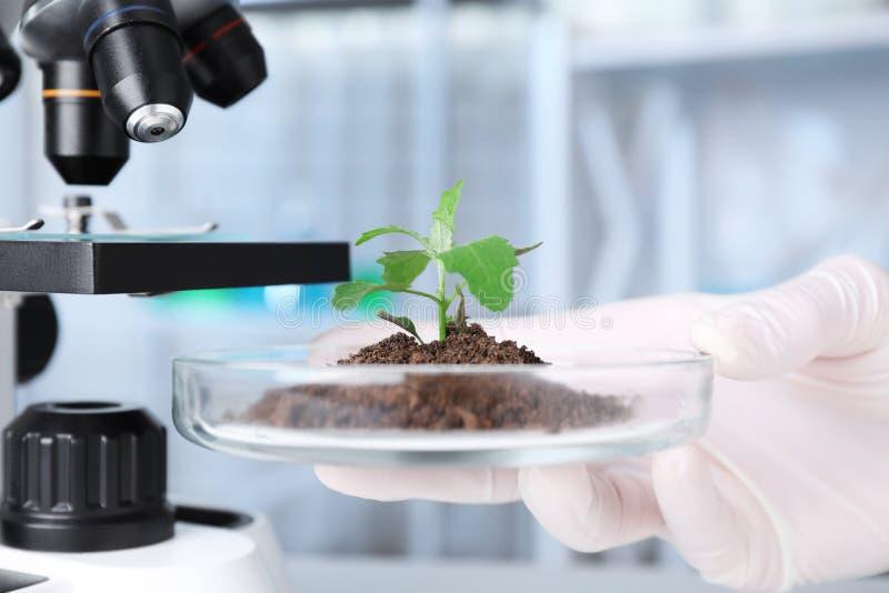 Wissenschaftler, der Petrischale mit Grünpflanze im Labor hält Biochemie lizenzfreie stockfotos