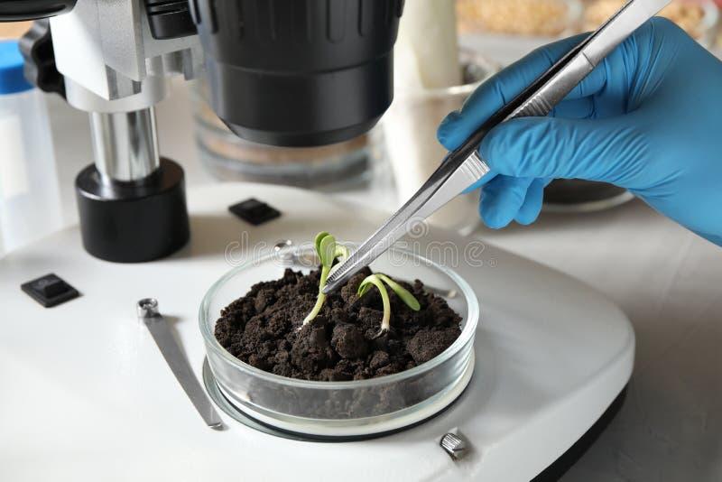 Wissenschaftler, die phytopathologische Tests von Pflanzen mit Mikroskop im Labor durchführen stockfoto