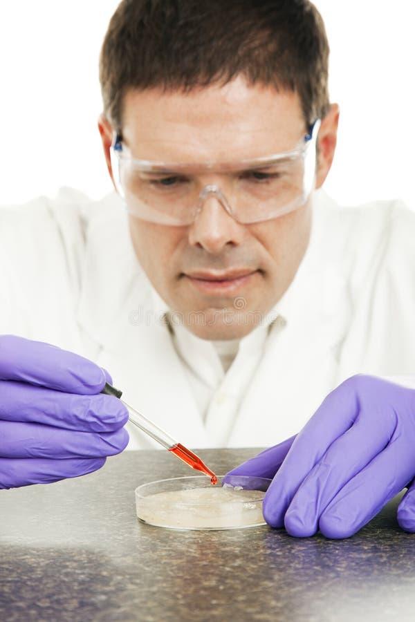 Wissenschaftler wächst Kultur in der Petrischale lizenzfreie stockfotos