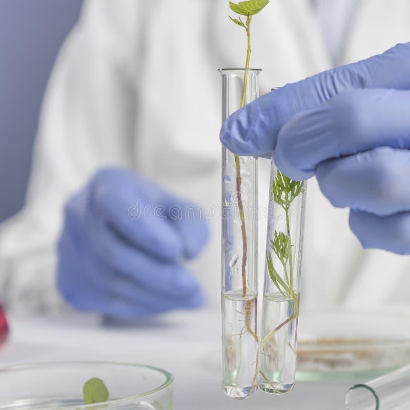 Wissenschaftlerchemiker, der im Labor zur Hanfforschung arbeitet Reagenzglas der Mannholding zwei mit Blättern Abschluss oben stockfotos