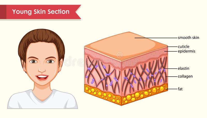 Wissenschaftliche medizinische Illustration des jugendlichen Hautabschnitts stock abbildung