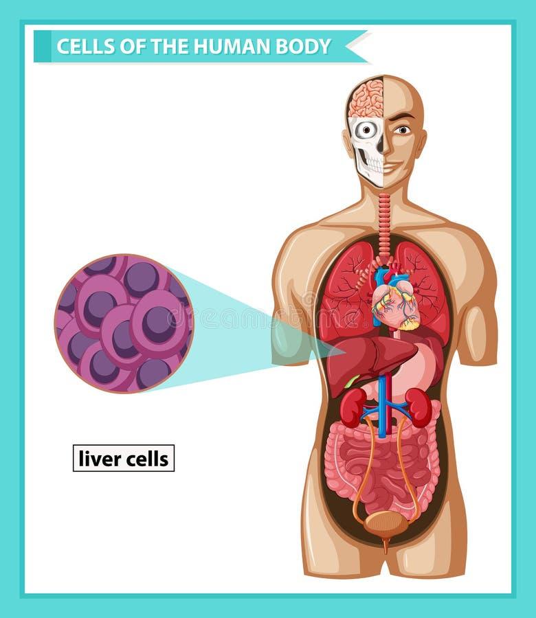 Wissenschaftliche medizinische Illustration von menschlichen Leberzellen stock abbildung