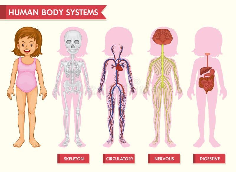 Wissenschaftliche medizinische Illustration von Systemen des menschlichen Körpers lizenzfreie abbildung