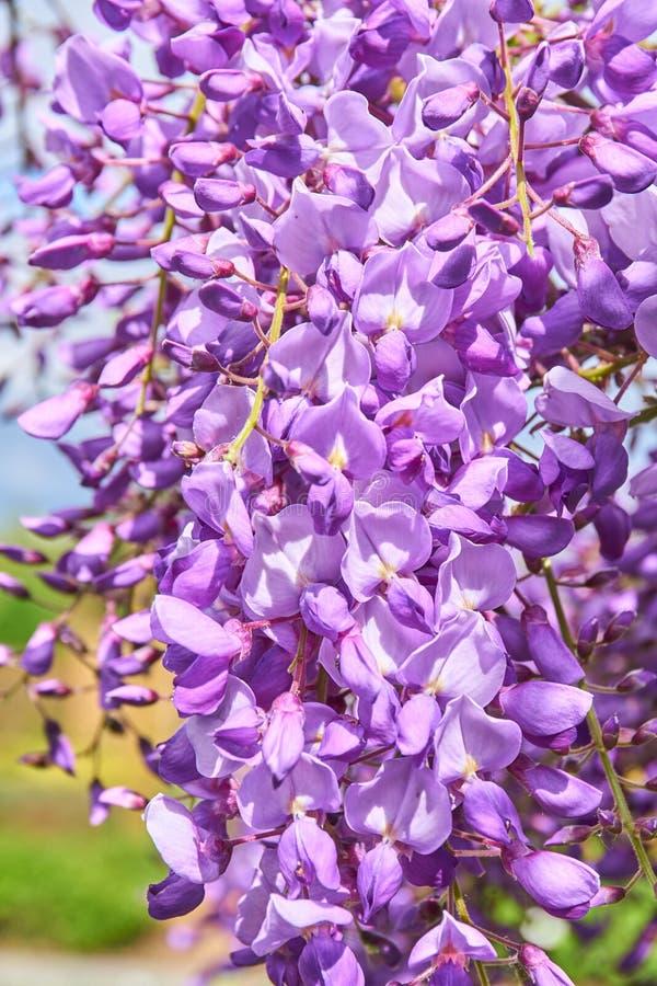 Wistaria в цветении стоковая фотография rf