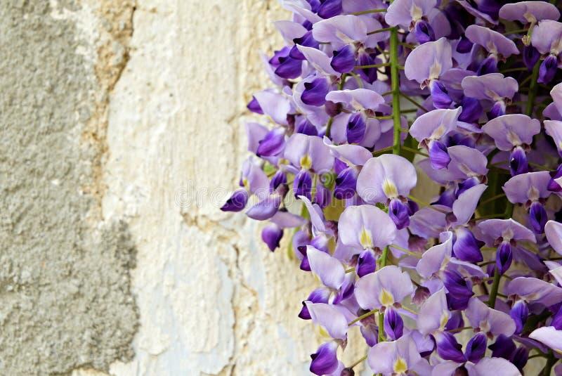 Download Wistaria bij de muur stock foto. Afbeelding bestaande uit gebladerte - 54092786