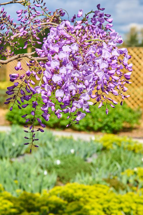 wistaria i blomning royaltyfria bilder
