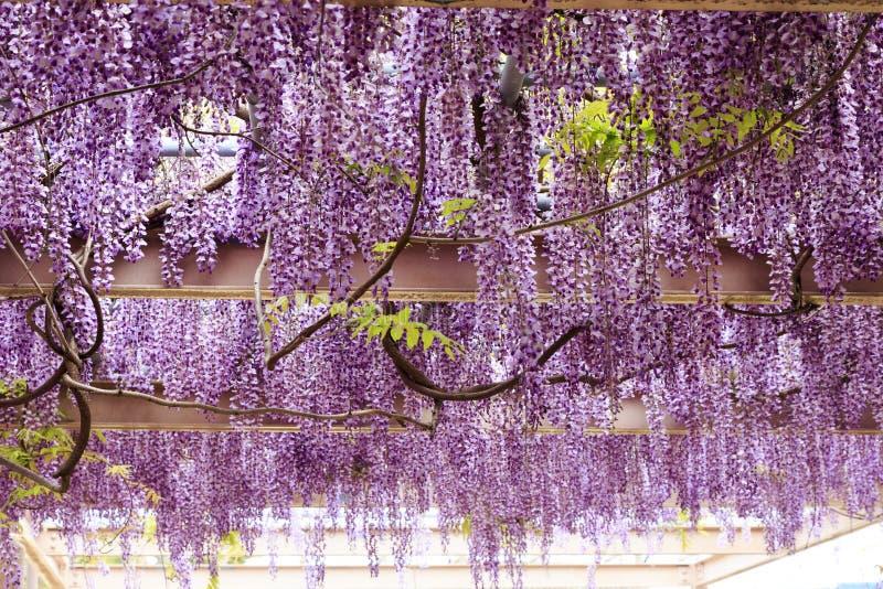 Wistaria a Yobuko; Il Giappone fotografia stock