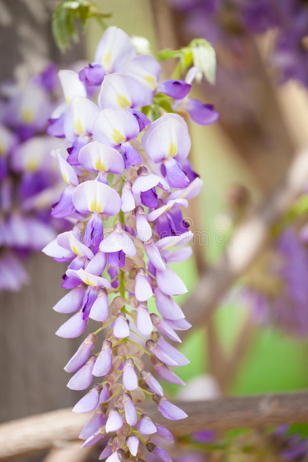 wisteria ένωσης στοκ φωτογραφία με δικαίωμα ελεύθερης χρήσης