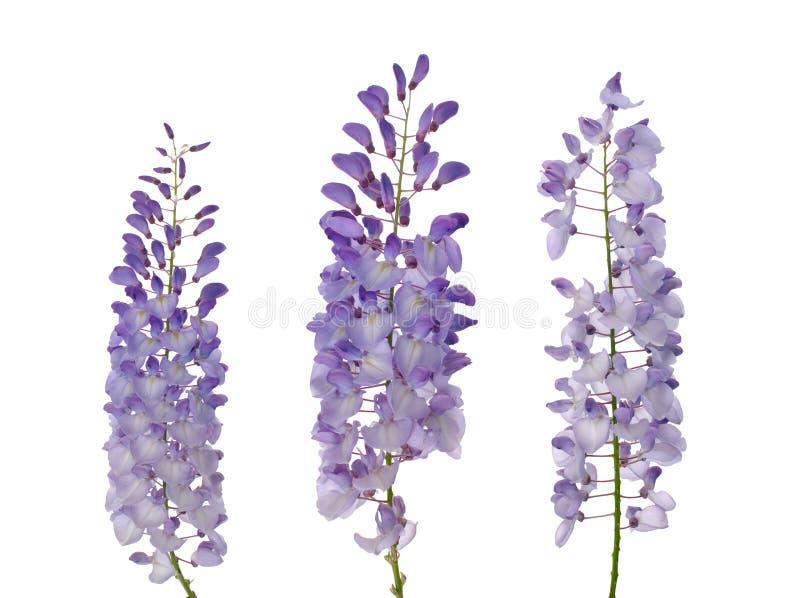 wisteria λουλουδιών στοκ φωτογραφίες με δικαίωμα ελεύθερης χρήσης