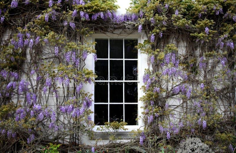 wisteria fotografering för bildbyråer