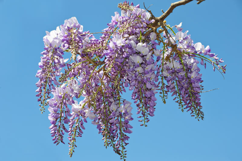 Wisteria. Is a genus of flowering plants in the pea family stock photos