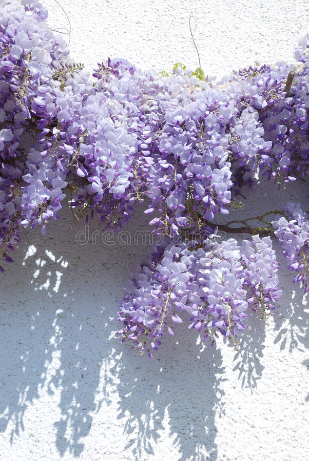 Wisteria. On a white wall stock image