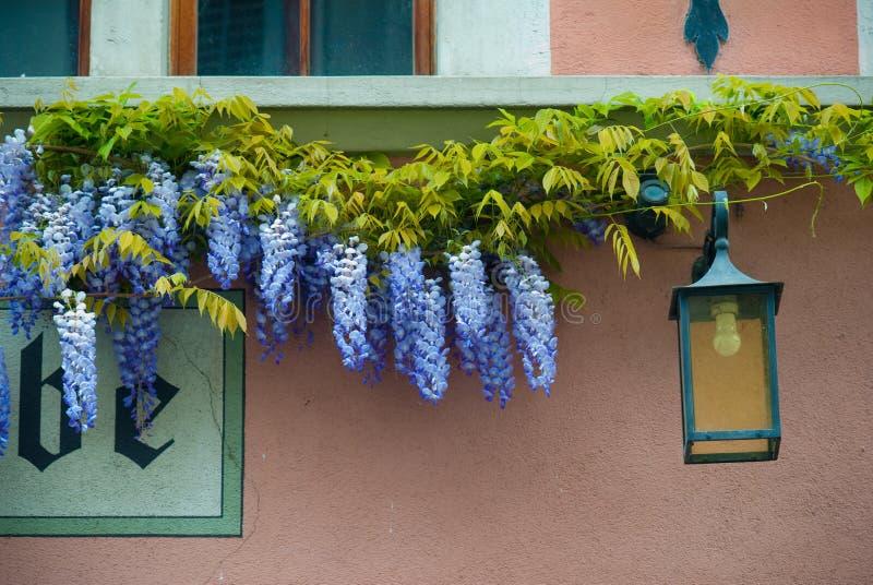 wisteria arkivfoto