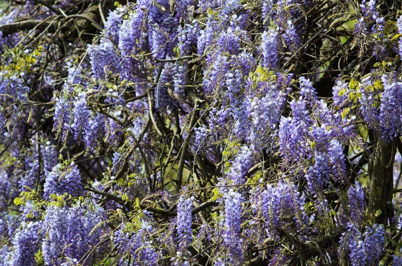 wisteria lizenzfreie stockfotografie