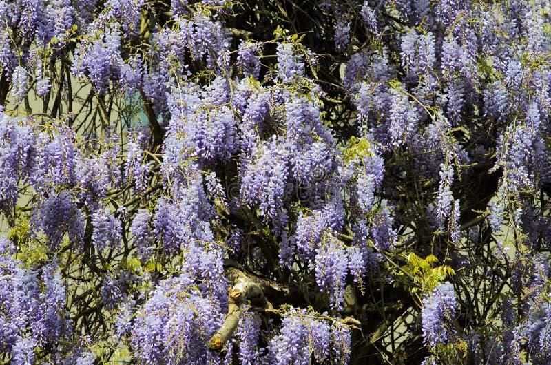 wisteria stockbild