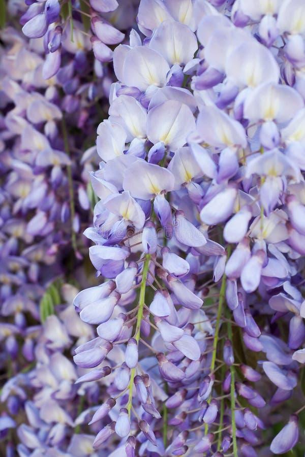 wisteria image libre de droits