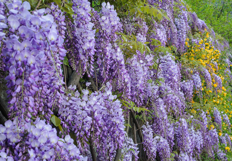 wisteria στοκ φωτογραφία με δικαίωμα ελεύθερης χρήσης