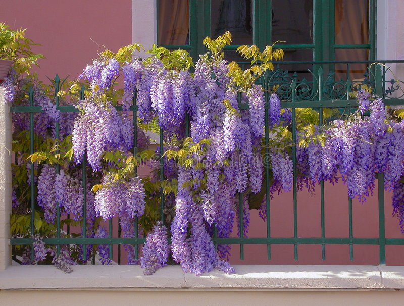 Wisteria. Full flowered wisteria on a railing at evening royalty free stock photos