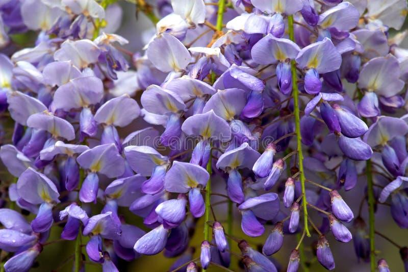 wisteria στοκ φωτογραφία