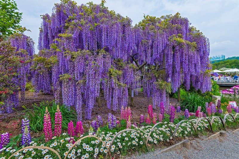 wisteria stock foto's