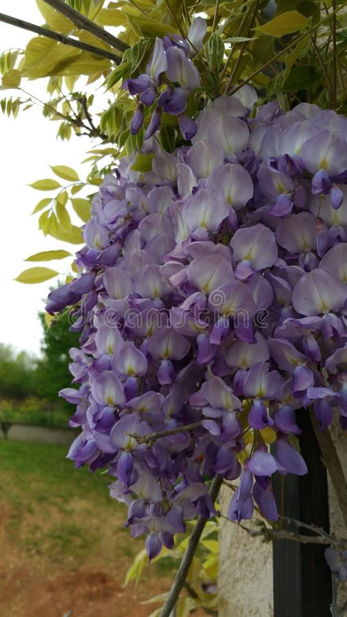 wisteria foto de archivo libre de regalías
