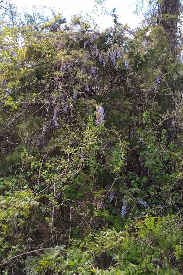 wisteria royalty-vrije stock foto