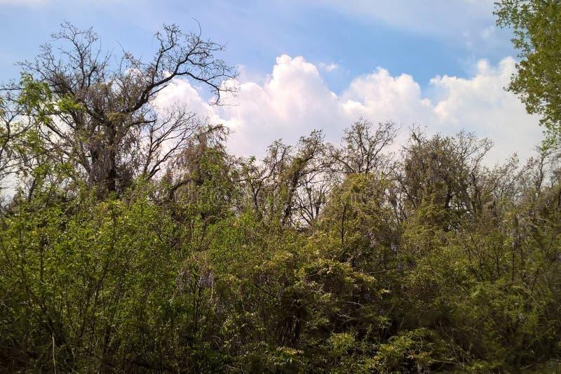 wisteria royalty-vrije stock afbeelding