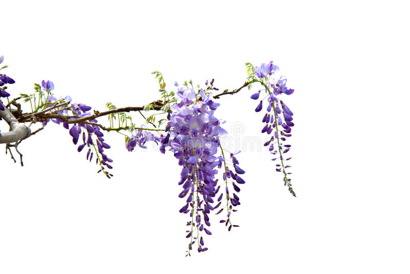 Wisteria. Hanging wisteria isolated on a white background stock image