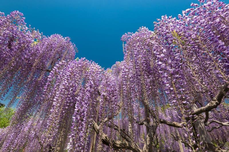 Wisteria agianst blauwe hemel, volledige bloesem stock fotografie