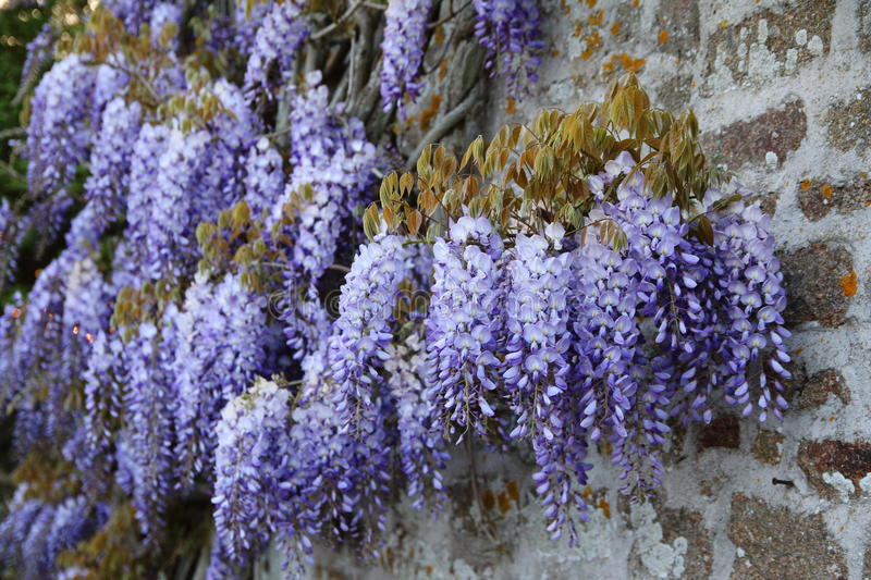 Wisteria. Beautiful wisteria flowering on a stone wall royalty free stock photo