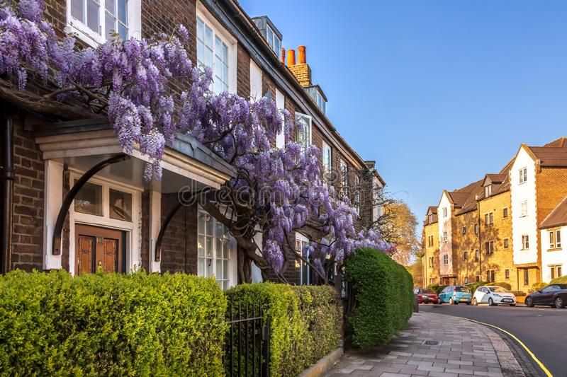 Teddington South West London, UK - Wisteria in Bloom Covering a Traditional House in Teddington. Wisteria in Bloom Covering a Traditional House in Teddington stock photography