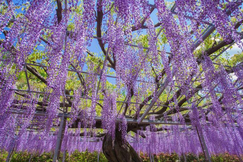 Wisteria blooming. Beautiful wisteria bloomimg in end of spring season stock images