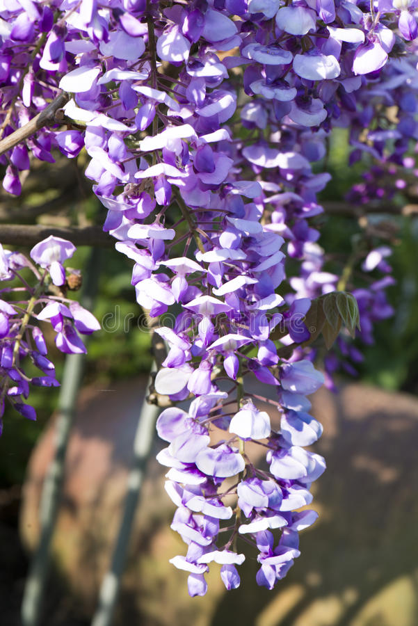 Blossoming Wisteria royalty free stock photography