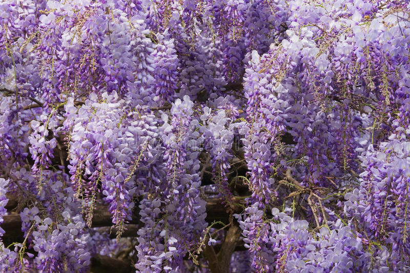 Wisteria. Blooming wisteria in spring, texture royalty free stock photos