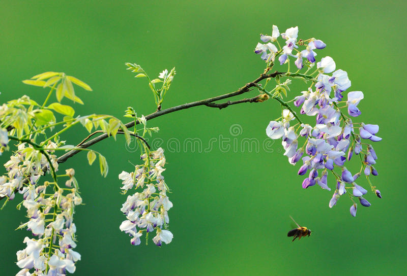 When the wisteria blooms, the bees come uninvited royalty free stock photography