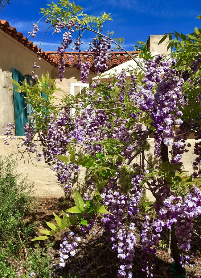 Wisteria Blooms royalty free stock photo