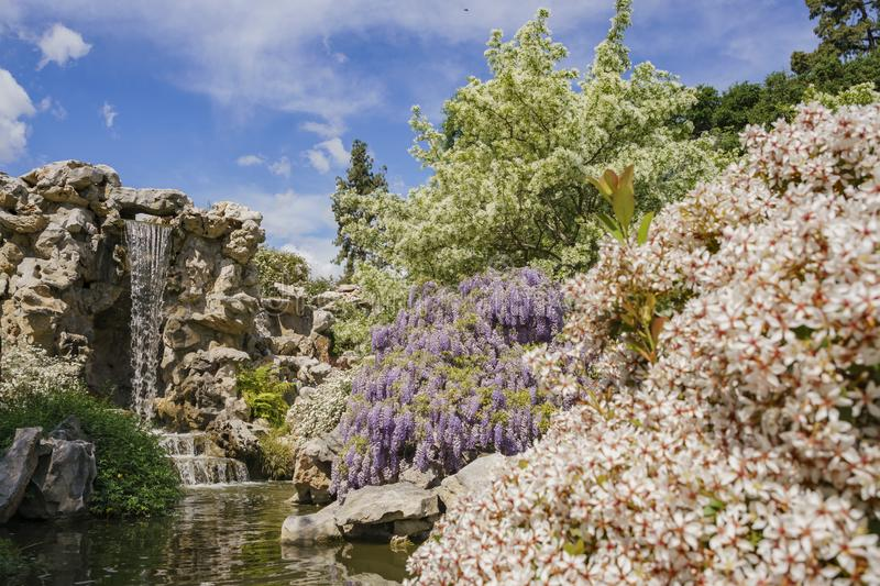 Wisteria blossom in Chinese Garden of Huntington Library. At Los Angeles, California royalty free stock photography