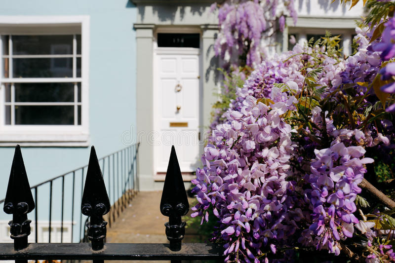Wisteria. Blossoming wisteria tree covers up a house and the fence on a bright sunny day stock photo