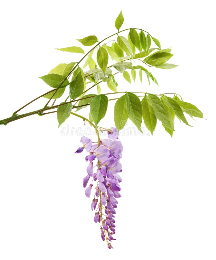 Wisteria branch with flowers. Isolated on white royalty free stock image