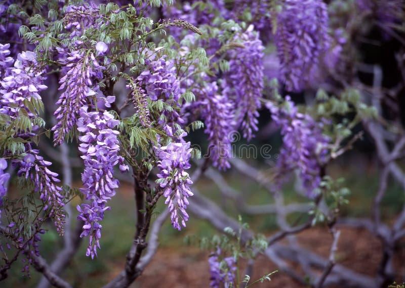 Wisteria, Brooklyn Botanic Garden Stock Photos