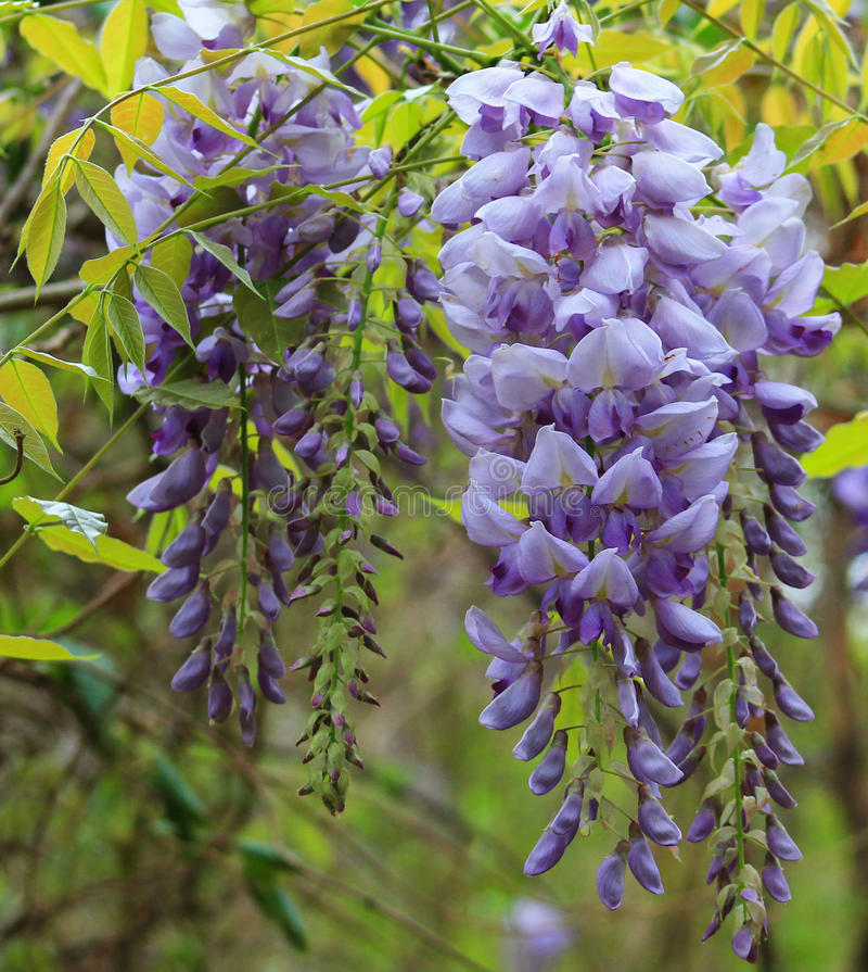 Wisteria-close-up. Wisteria branch close-up in different stages of bloom stock images