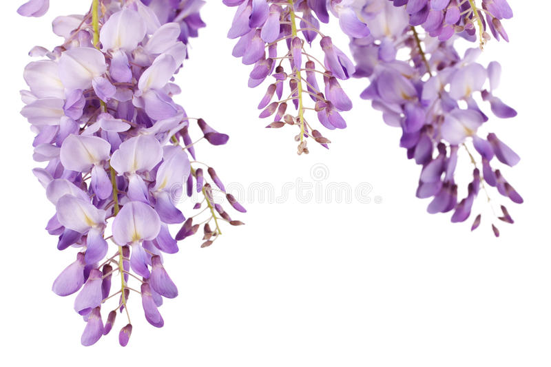 Wisteria closeup. Beautiful wisteria flowers isolated on white background stock photos