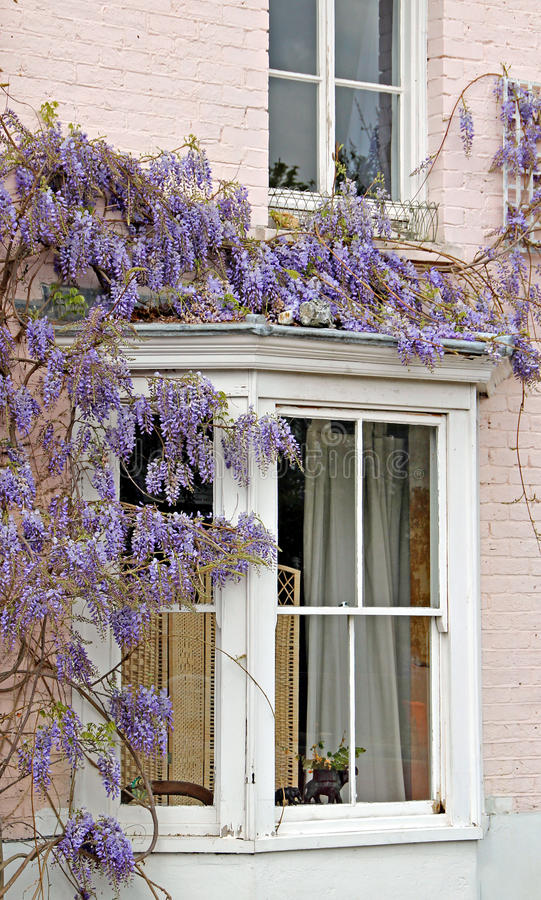Wisteria cottage. Photo of cottage window with wisteria creeper vine in full bloom stock photos