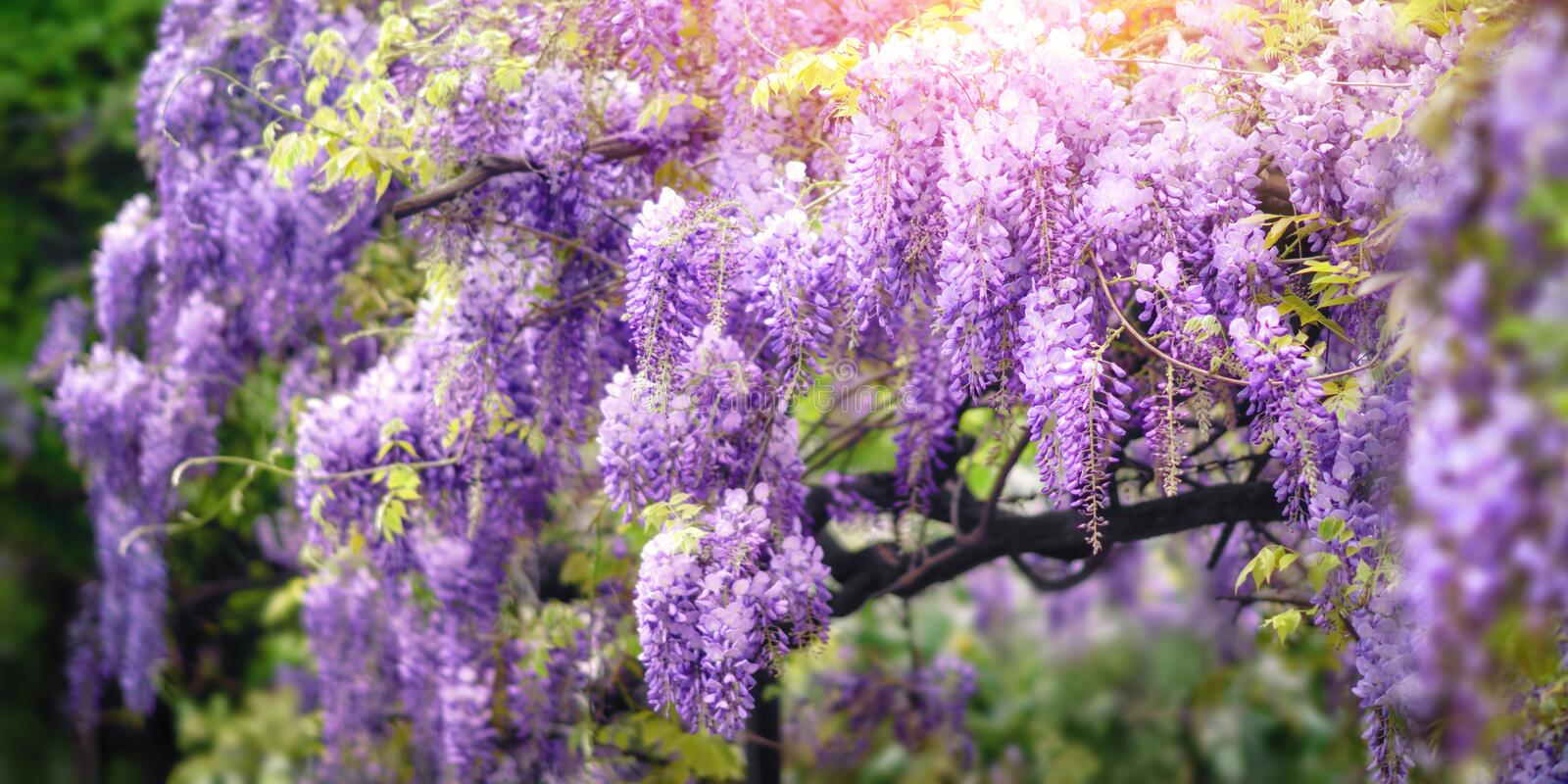 Wisteria dream in purple royalty free stock photography