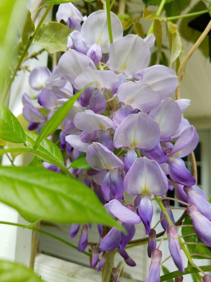wisteria photos libres de droits