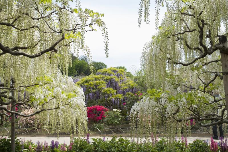 Wisteria. Flower at Ashikaga flower park in japan royalty free stock image