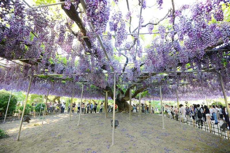 Wisteria in Japan. Wisteria flower in a garden in Japan royalty free stock photo
