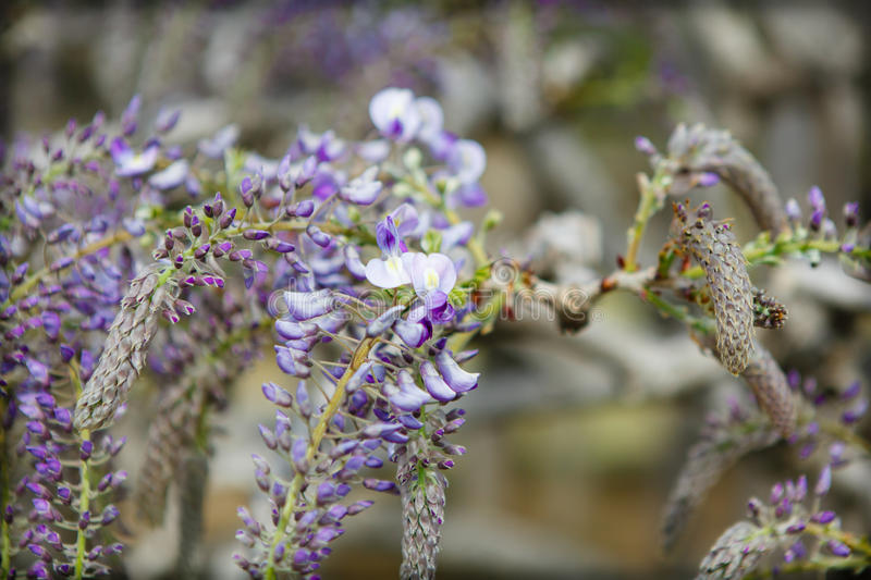 Wisteria flower royalty free stock image