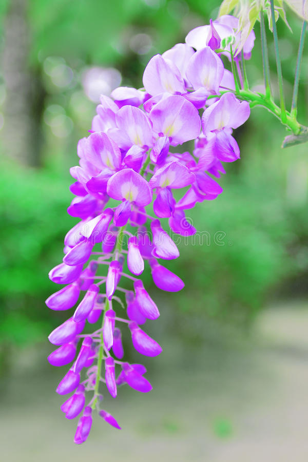 Wisteria flower plant in an Asian park. Green natural background stock photography