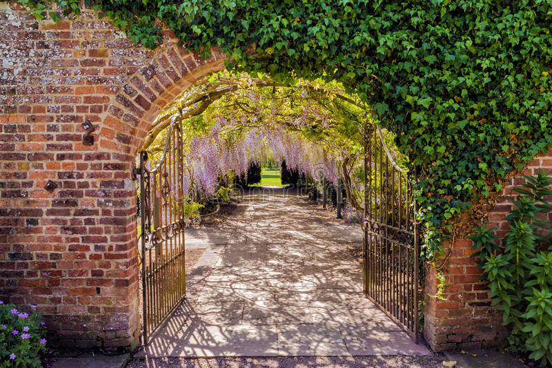 Wisteria Flower Tunnel, Hampton Court Castle, Herefordshire, England. The amazing 150 year old wisteria tunnel that runs from the walled garden through wrought royalty free stock images